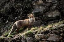 .the fox.