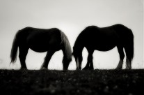 .two horses with no name.