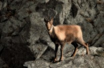 .the chamois.